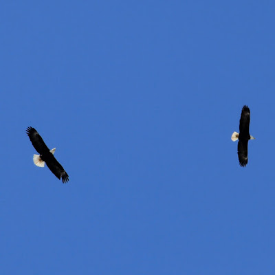 Bald eagles soaring in Minnesota