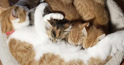Berapa Lama Anak Kucing Tinggal Dengan Induknya?
