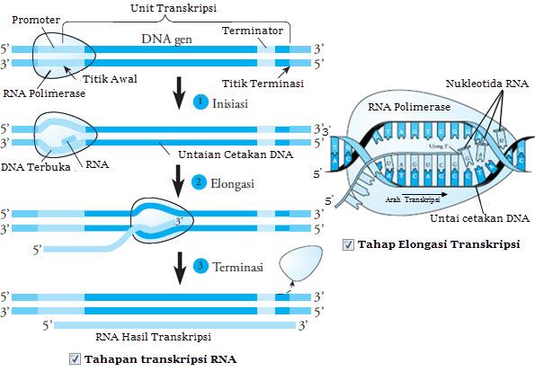 Tahapan sintesis protein materi belajar transkripsi ccuart Images