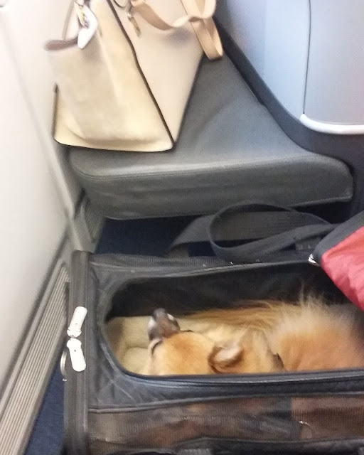dogs are allowed in lufthansa business class on transatlantic flights