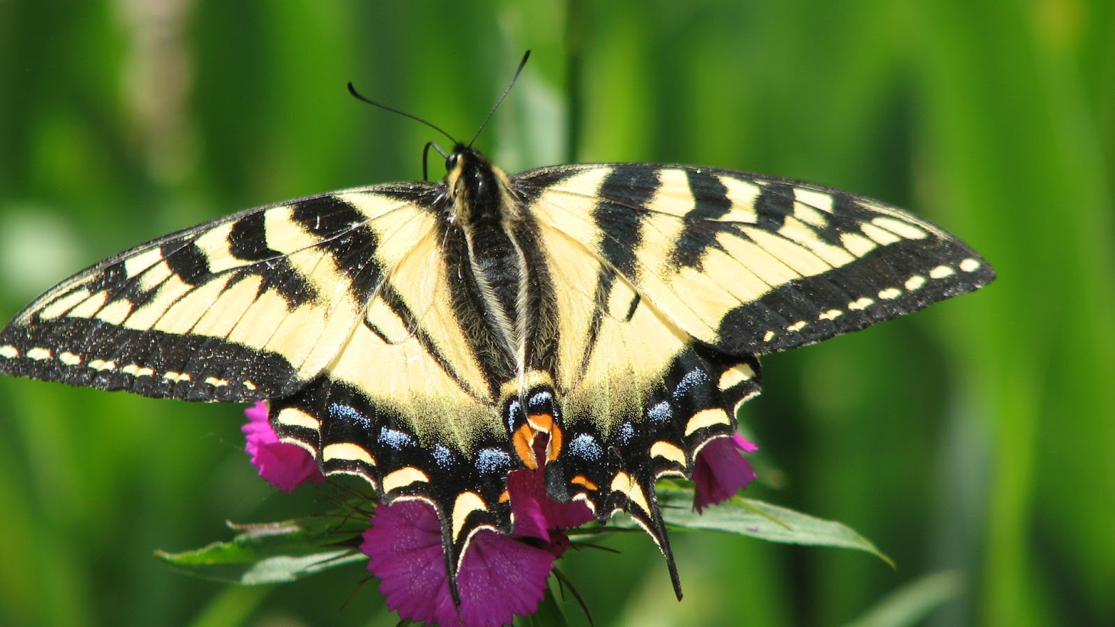 9d871f433 Has smaller wingspan than Eastern Tiger Swallowtail, and on the underside  the yellow marginal band is continuous. All but one photo images taken in  South ...