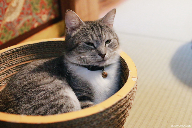 猫:保護猫カフェ ネコリパブリック キジ白トラ