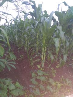 cara merawat tanaman jagung yang baik dan benar, rawat tanaman jagung manis hibrida dan pioner, tips jitu merawat tanaman jagung di musim hujan