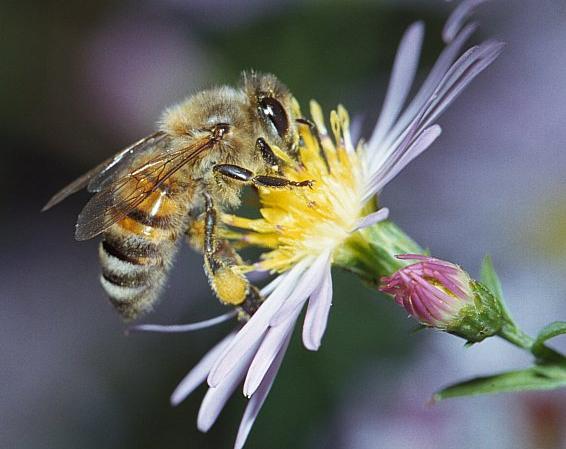 Ong thợ