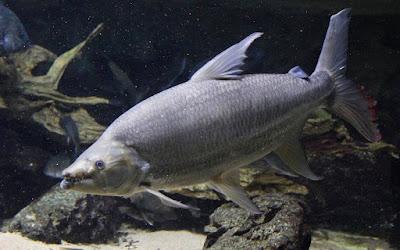 Goliath Tigerfish Catfish Ikan Predator Air Tawar Yang Merupakan Perenang Aktif Di Akuarium