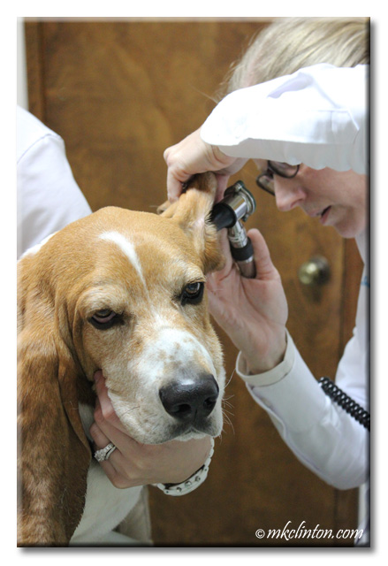 Veterinarian looking inside Basset's ear