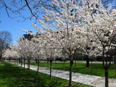 Allee of flowering Japanese cherries Prunus serrulata in bloom outside of Robarts Library University of Toronto St. George campus by garden muses: a Toronto gardening  blog