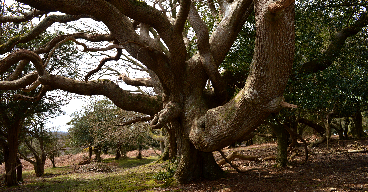 IF YOU GO DOWN TO THE WOODS TODAY    : Elephant tree or