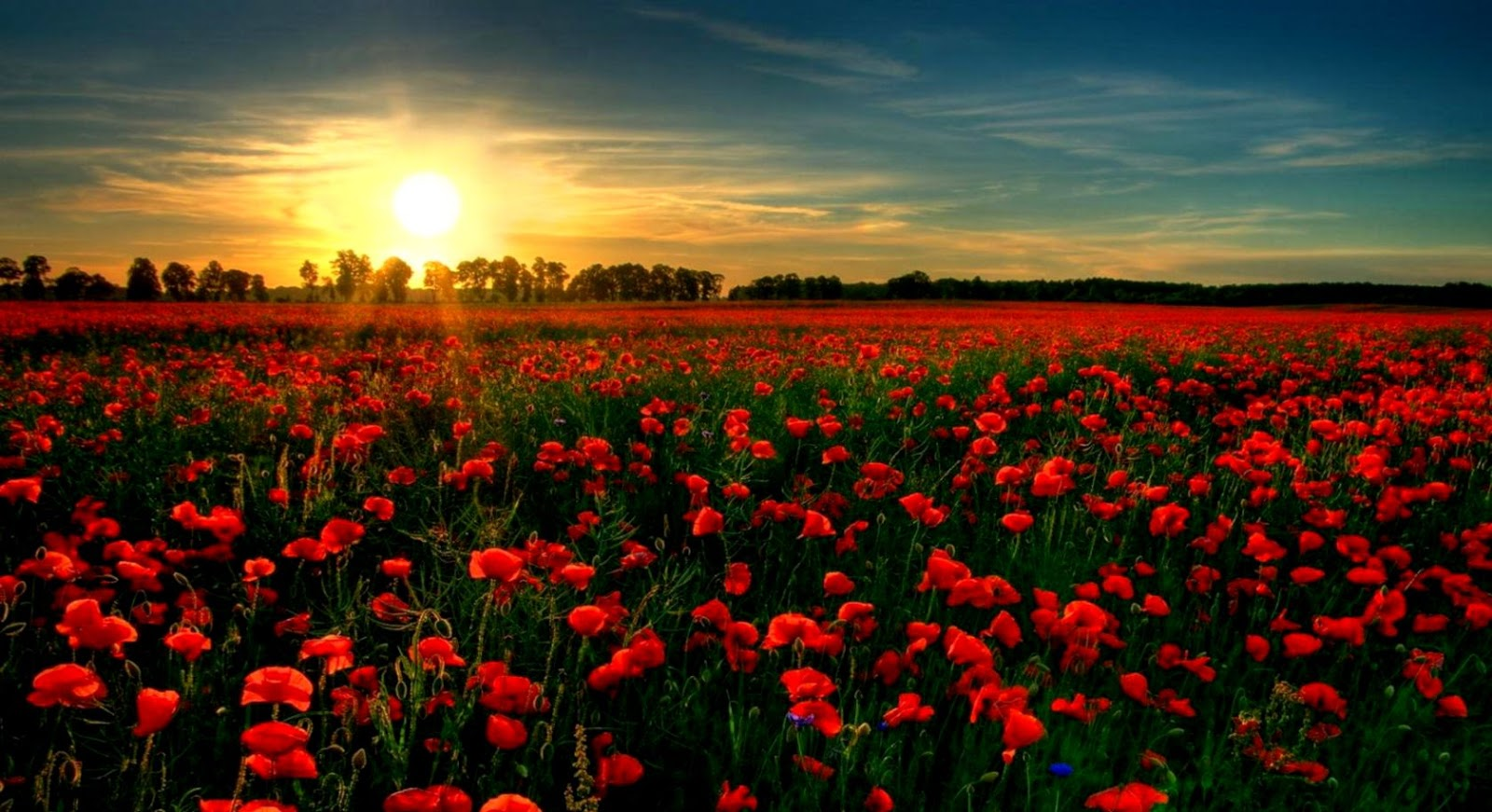 Poppies Red Flowers Field Nature Hd Wallpaper Wallpapers Titan