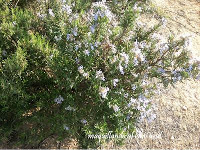 Buscando plantas aromaticas