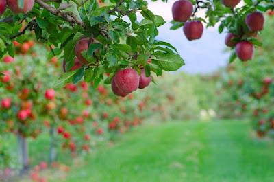 Khasiat Buah Apel Untuk Kanker Paru Paru