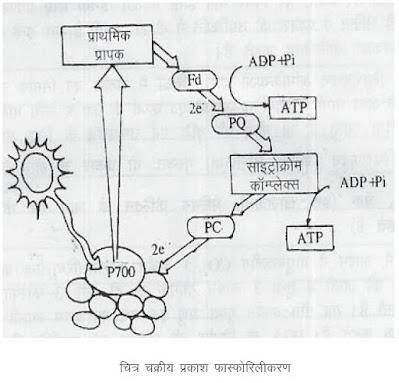 चक्रीय प्रकाश फास्फोरिलीकरण