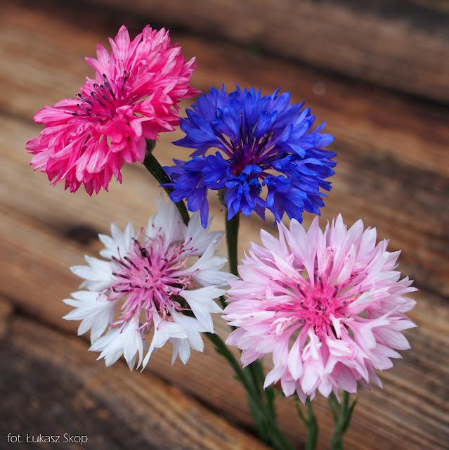 jadalne kwiaty bławatka