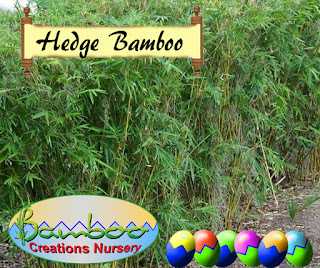 bamboo creations victoria hedge bamboo to screen out unwanted buildings.