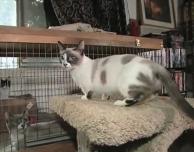 ca58091f8511 Λέγεται Fizz Girl και είναι η πιο κοντή γάτα του κόσμου. Είναι 2 χρονών και  το ύψος της είναι μόλις 15 εκατοστά! Δείτε την σε δράση στο παρακάτω video…