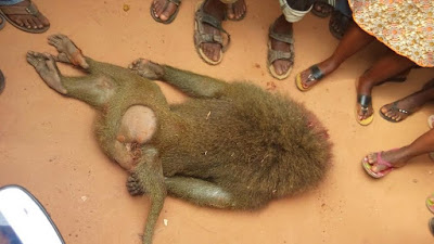 giant monkey killed ago iwoye ogun state