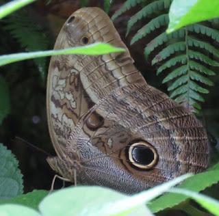 Caligo illioneus, Dusky Owl-Butterfly