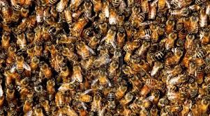 No es relajo las abejas se están extinguiendo y nosotros podríamos ser los siguientes.
