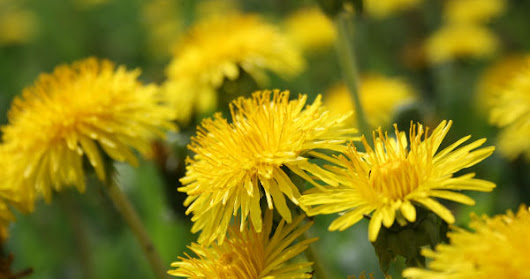 Dandelion Root Extract Study as Treatment for Terminal Cancer