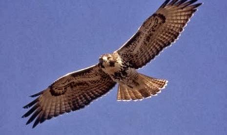 Seekor burung elang yang ditangkap oleh kelompok gerilyawan Lebanon Israel memanfaatkan Elang sebagai mata-mata???