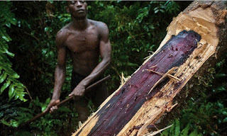 A small mistake can bring great damage, cutting down a rosewood tree in DRC Africa.