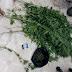 Έκρυβε 33 φυτά κάνναβης στο σπίτι του 56χρονος στην Κομοτηνή