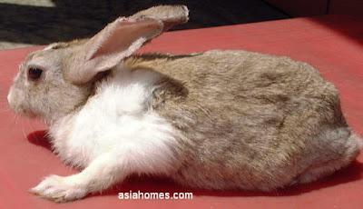 cara mengobati gudik kudis scabies pada kelinci hias