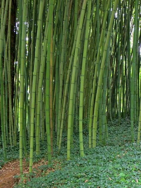 Bamboo Farming in Kenya 2019   Bamboo Growing in Kenya