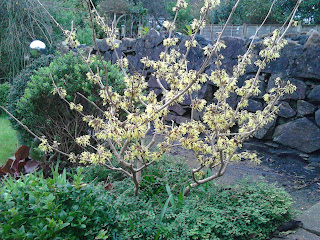 Witch hazel (Hammamelis) scented paths Green FIngered Blog