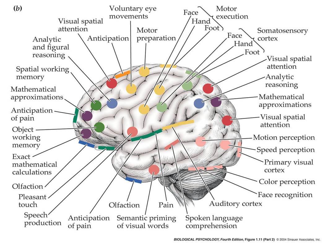 taming the polar bears: chapter one - neuroanatomy 101 brain stem diagram brain mapping diagram #9