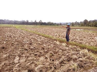 Puluhan Hektare Sawah di Cubadak Mentawai Terancam Kekeringan