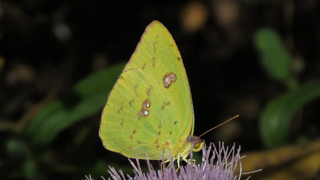 Clouded Sulfur Butterfly Meditation