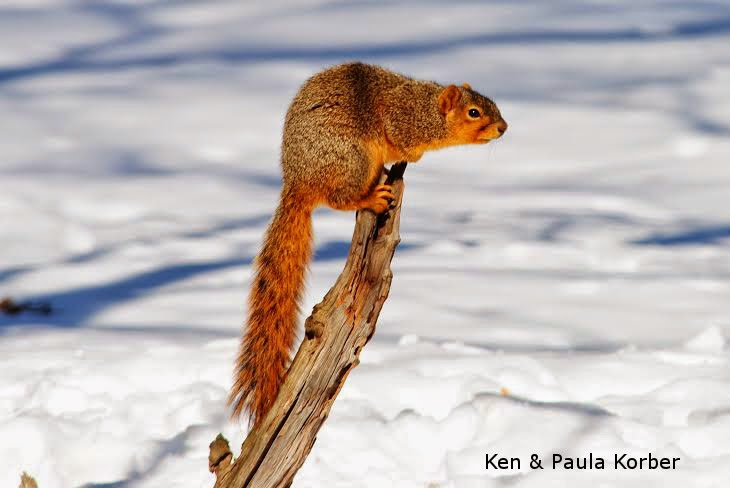 Squirrel  on branch in winter