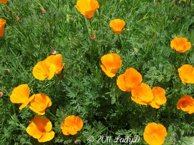 Beautiful Orange Poppies: LadyD Books