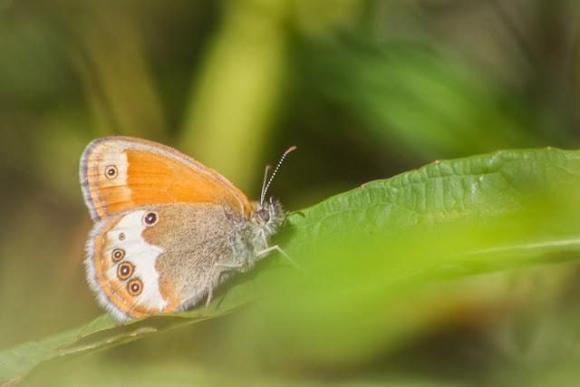 kirjoniittyperhonen