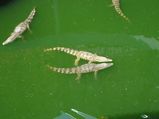 Таиланд. Ферма крокодилов