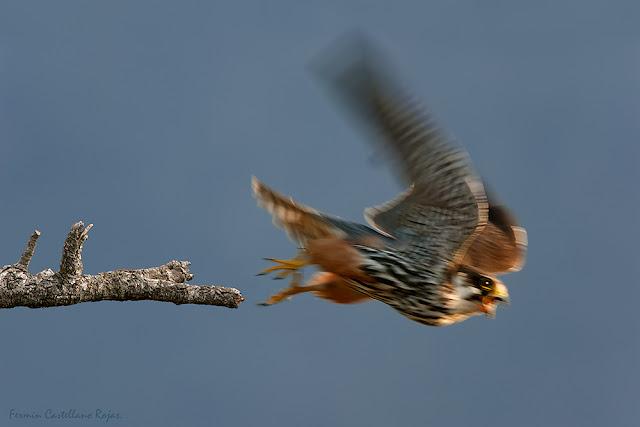 Hembra de alcotán despegando (Falco subbuteo)