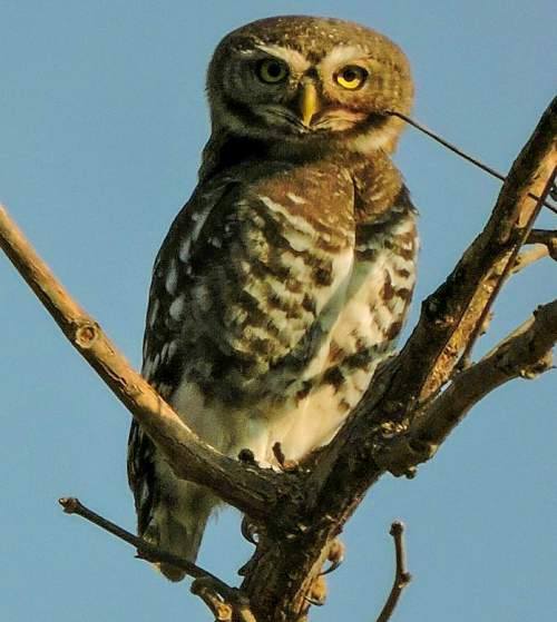 Indian birds - Picture of Forest owlet - Heteroglaux blewitti