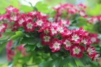The Midland Hawthorn, Crataegus laevigata 'Paul'sScarlet'