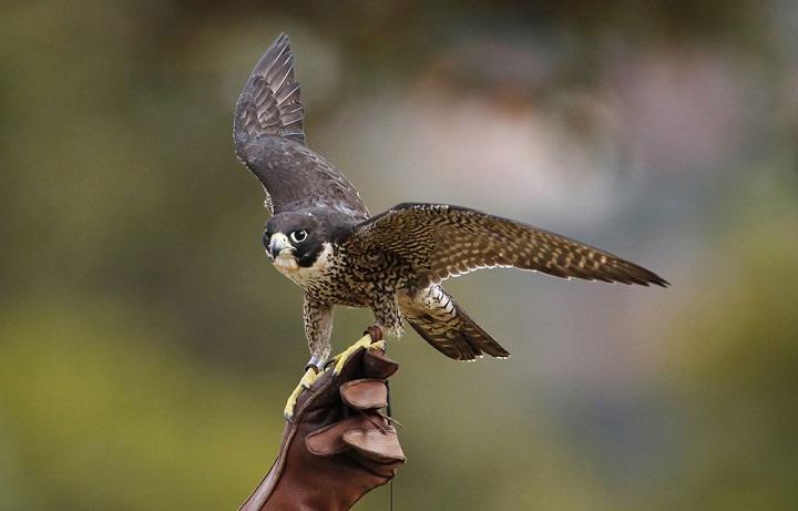 Cara Burung Pemangsa Menangkap Mangsanya