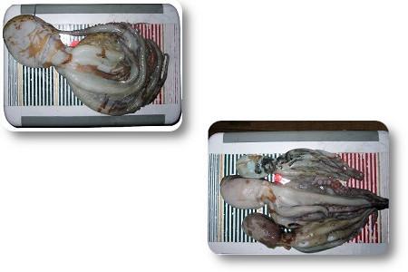 タコ 明石たこ 関西の船釣りで釣れる 竿とリール
