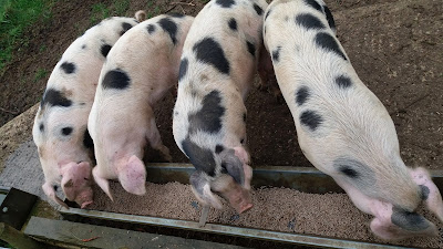 Pigs at 4.5 months on the HenSafe Smallholding
