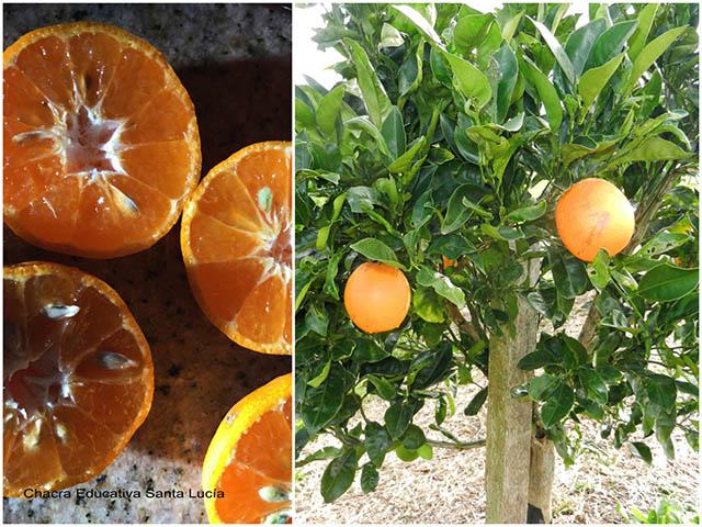 Frutos del naranjo y naranjo - Chacra Educativa Santa Lucía