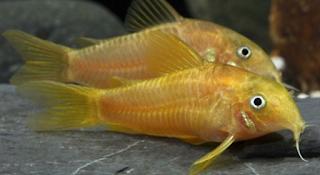 Indu jantan dan betina Budidaya Ikan Corydoras