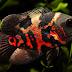Ikan Oscar (Astronotus ocellatus)
