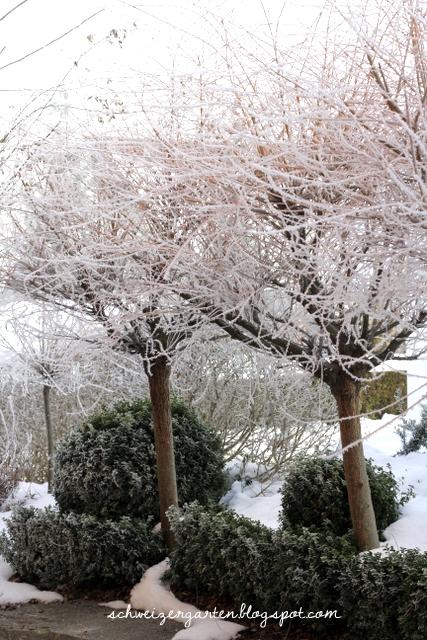 Schneiden winter harlekinweide Harlekinweide schneiden