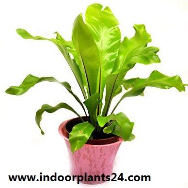 Asplenium nidus Aspleniaceae  indoor house  plant