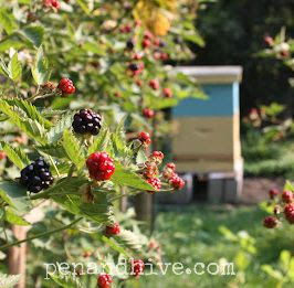 beehives and blackberries