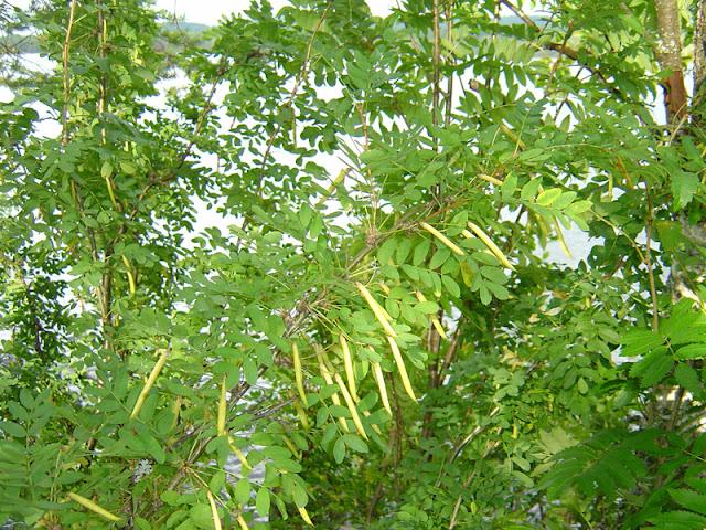 sibirisk ärtbuske