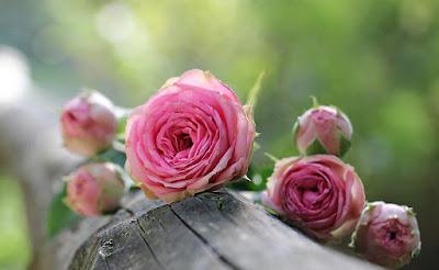 Manfaat Minum Air Bunga Mawar untuk Kesehatan
